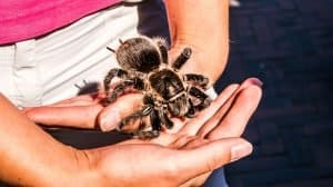 Can you die from a tarantula bite?