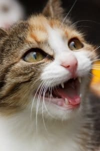 why do cats meow silently