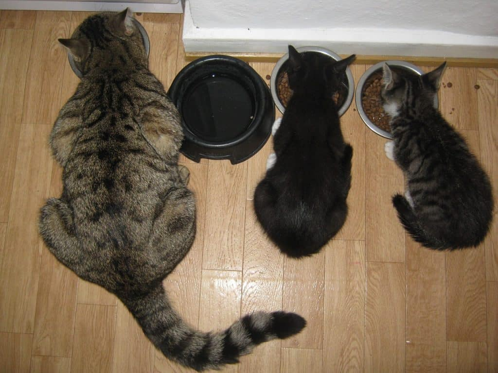 Best kitten food for weaning
