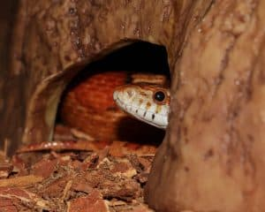 Keeping and Caring for a pet corn snake