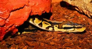 Are ball pythons easy to care for?