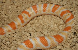 What is the best substrate for corn snakes