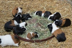What foods can I feed my guinea pig