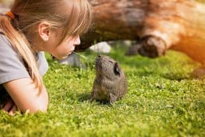 caring for guinea pigs as pets