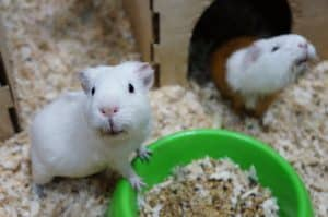 Best substrate for guinea pigs